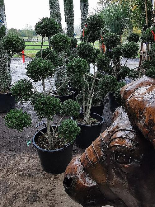 Ilex Crenata 'Kinme' Pom Pom Topiary Tree. Japanese Holly Pom Pom Topiary Tree.