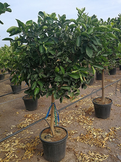 Citrus x Latifolia Trees. Tahiti Lime Trees for sale