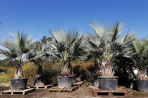Brahea Armata Palm Trees For Sale. Mexican Blue Palm Trees.