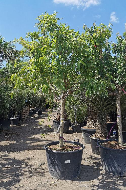 Nectarine Trees. Variety 'Star Red Gold'