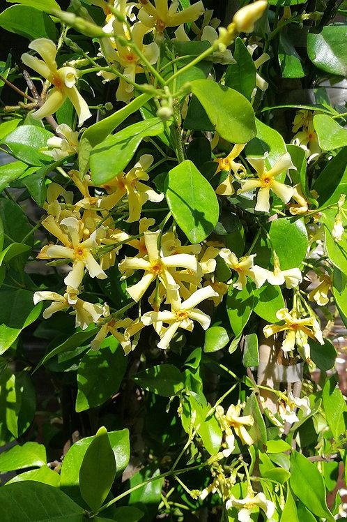 Tall Trachelospermum Jasminoides. Star Jasmine Plants