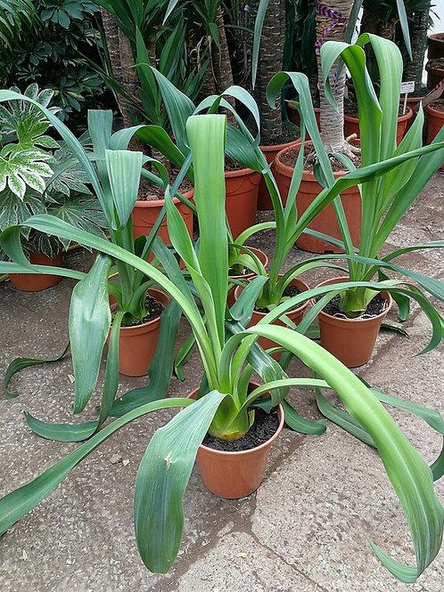 Beschorneria Yuccoides. Mexican Lily.