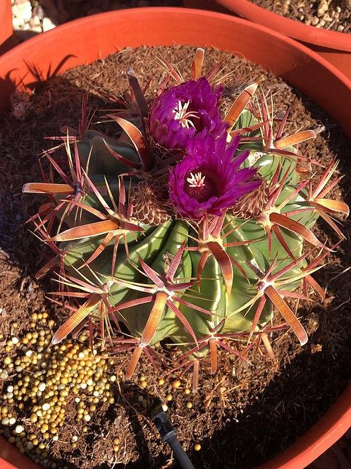 Ferrocactus Latispinus Cactus For Sale