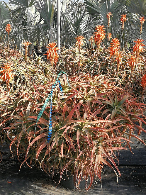 Large Aloe Arborescens Plant. Large Torch Aloe Plants