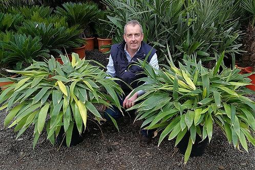 Indocalamus Tessellatus. Large Leaved Bamboo Plants