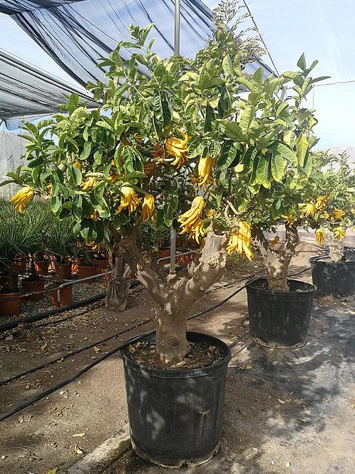 Large Buddah's Hand Citrus Tree For Sale. Citrus Medica 'Digitata'