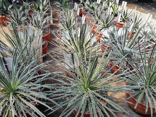 Agave Geminiflora Plants