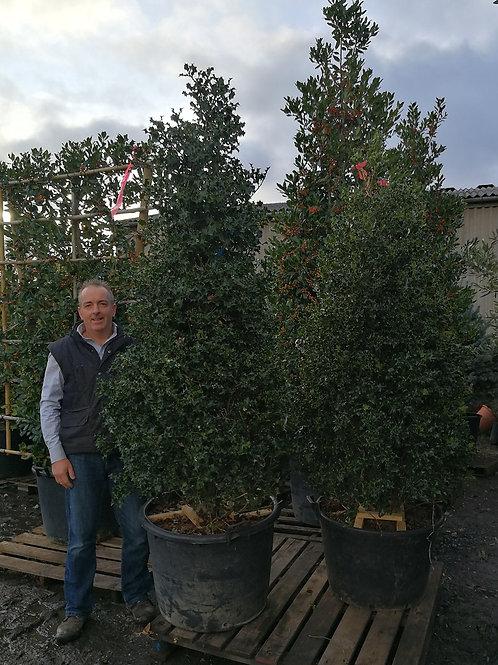 Ilex Aquifolium. Common Holly. Cone Shape. Christmas Holly Cone Shape