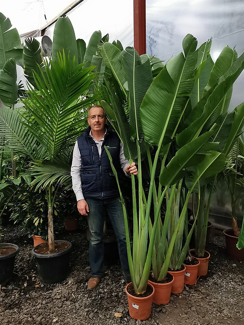 Large Ravenala Madagascariensis. Travellers Palm.