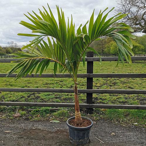 Veitchia Merrilii Palm. Dwarf Royal Palm For Sale.
