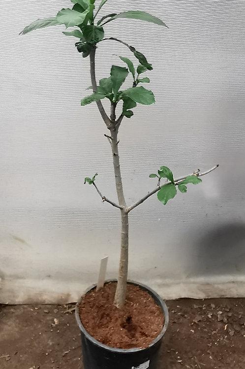 Adansonia Digitata. African Baobab.