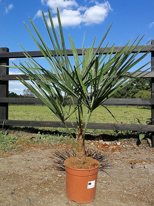 Trithrinax Brasiliensis Palm for sale