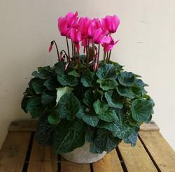 Cyclamen Plant.
