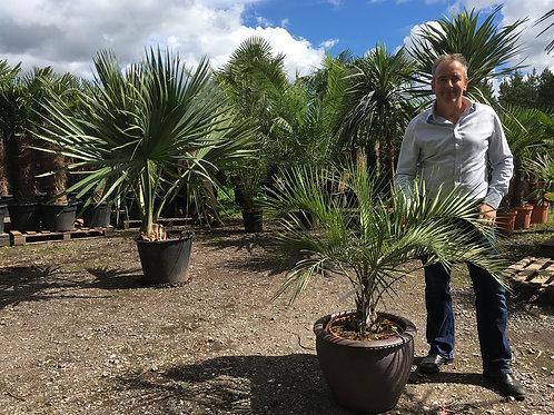 Butia Capitata Palm and Rustic Pot