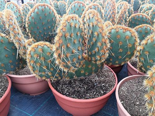 Opuntia Aciculata. Chenille Pricly Pear Cactus.