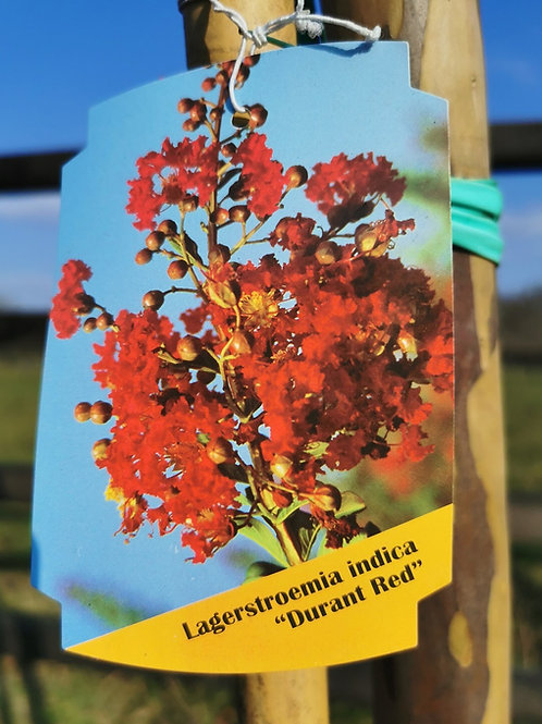 Lagerstroemia Indica Trees For Sale