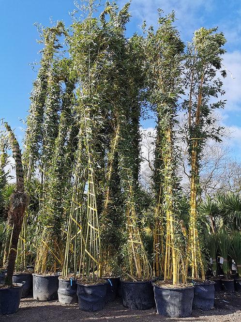 Phyllostachys Viridis 'Sulphurea' Bamboo. Giant Bamboo For Sale