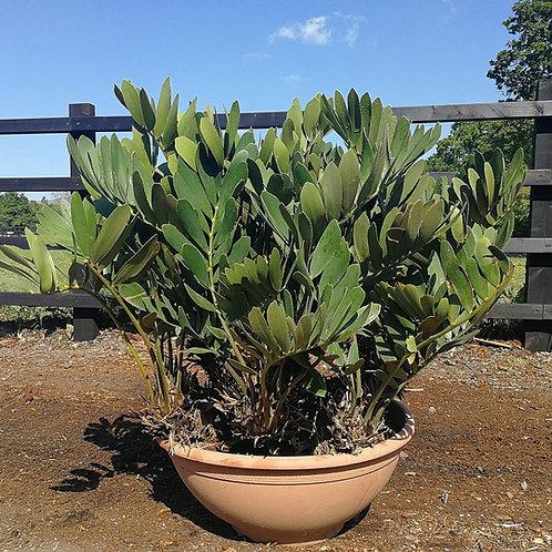 Zamia Furfuracea Cycad. Cardboard Palm.