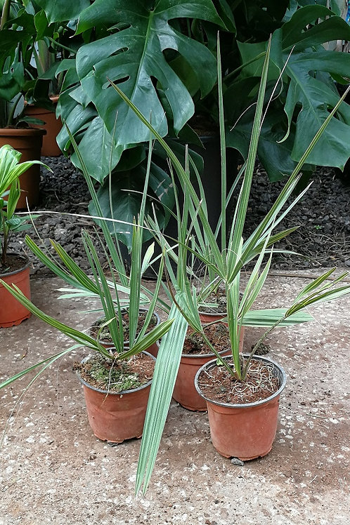 Sabal Etonia. Scrub Palmetto. Scrub Palm.