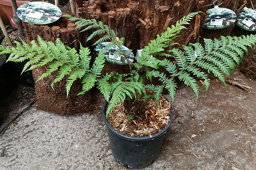 Cyathea Cooperi Tree Ferns For Sale.