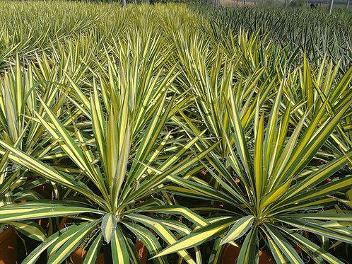 Yucca Filamentosa 'Gold Heart'. Adam's Needle Yucca 'Gold Heart'.