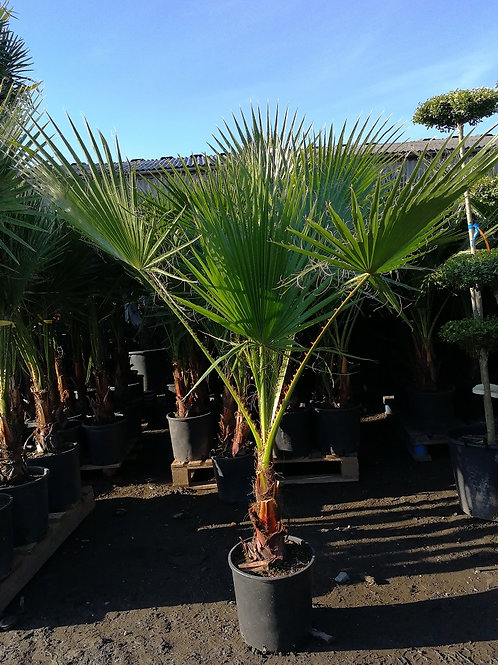 Washingtonia Robusta Palm Trees