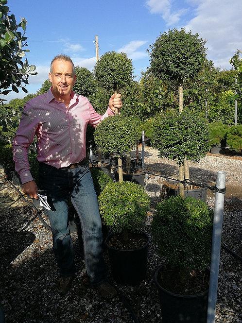 Ligustrum Jonandrum Topiary Trees