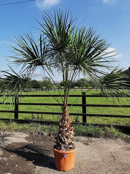 Large Livistona Australis Palm. Cabbage Tree Palm