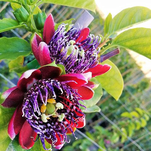 Passiflora x Decaisneana. Passiflora Alta x Passiflora Quadrangularis. Passion Flower Vine for Sale.