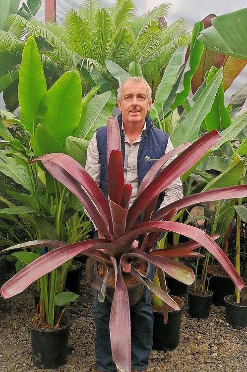Bromeliad Neoregelia sp. Extra Large Bromeliads For Sale