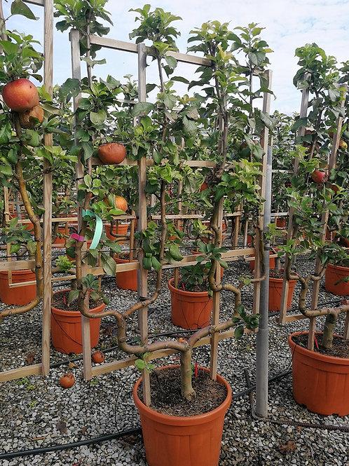 Apple Trees. Espalier Trained. Variety 'Delbard Jubilee'.