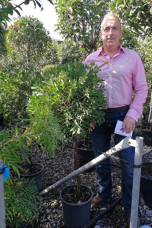 Callistemon Laevis. Scarlet Bottlebrush Trees.