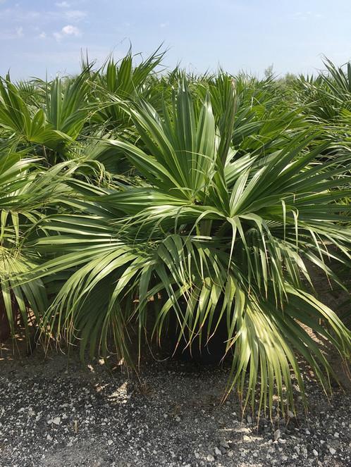 fan palm trees. livistona chinensis palm trees. fan trees