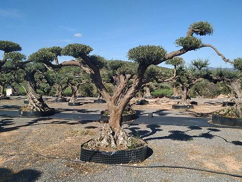 Huge Specimen Gnarled Plate Olive Tree