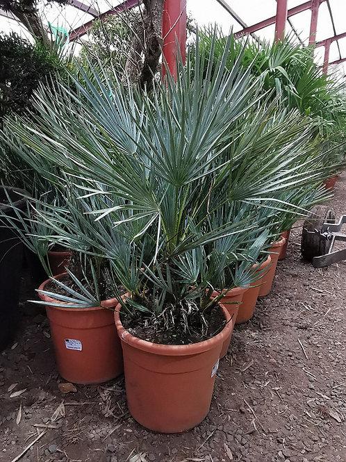 Chamaerops Humils Cerifera Palm Tree For Sale