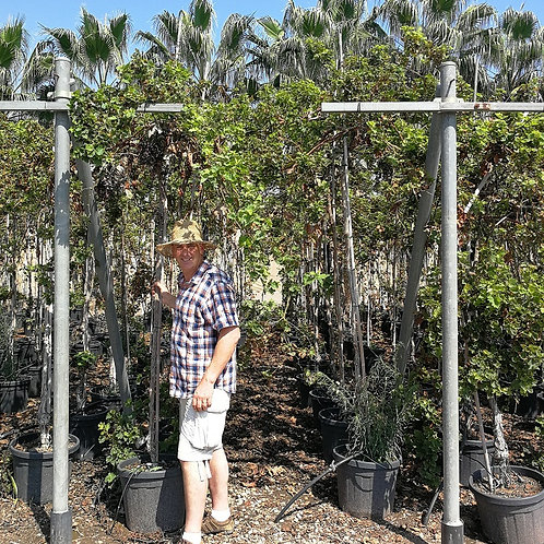 Tall Grape Vines For Sale