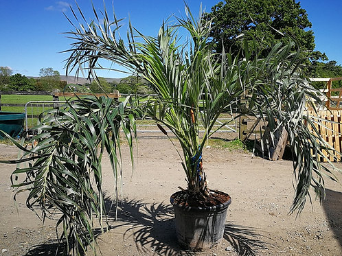 Large Allagoptera Arenaria Palm Tree for sale