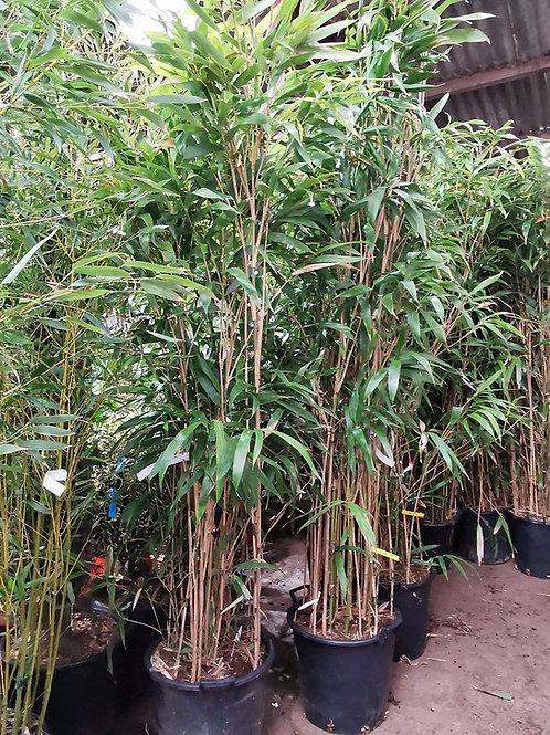 PSEUDOSASA JAPONICA. Arrow Bamboo.