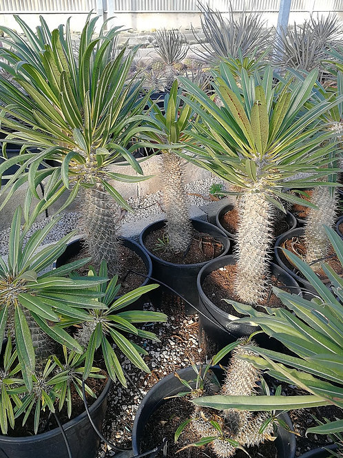 Pachypodium Lamerei. Madagasgar Palm for sale