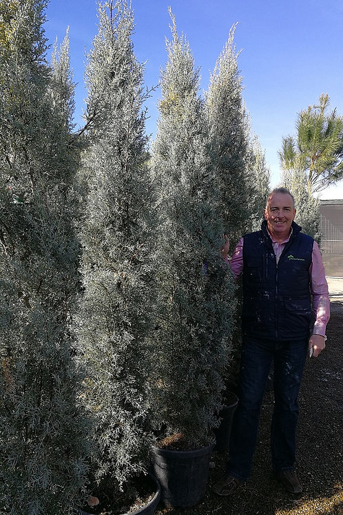 Tall Cupressus Arizonica Trees For Sale
