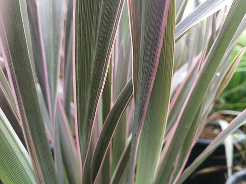 Phormium 'Pink Stripe'. Flax Lily 'Pink Stripe' Plants