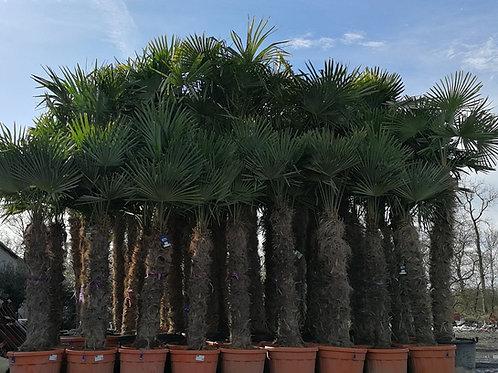 Trachycarpus Fortunei Palms Trees. Chusan Palm Trees