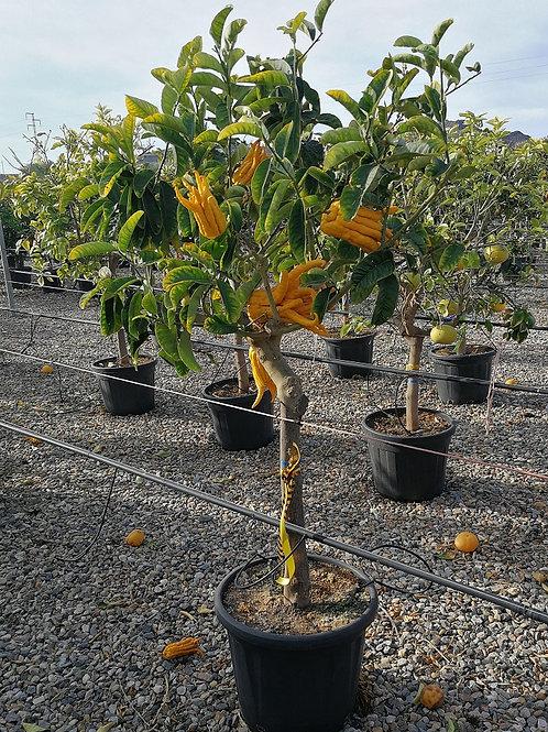 Large Citrus Medica 'Digitata' Trees For Sale
