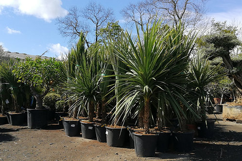 Large Cordyline Australis Plants for sale. Torbay Palms.