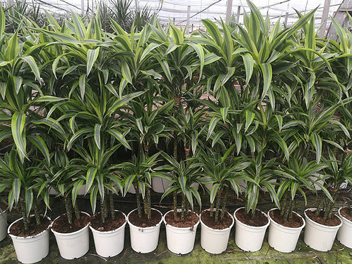 Large Dracaena 'Lemon Lime' Plants. Large Dragon Plant 'Lemon Lime'