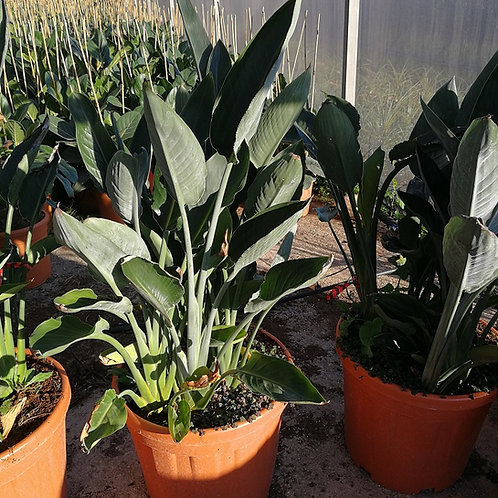 Strelitzia Reginae 'Mandela's Gold' Plants For Sale