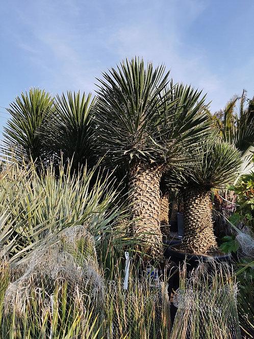 Large Specimen Yucca Filifera Australis multi-head Plants For Sale