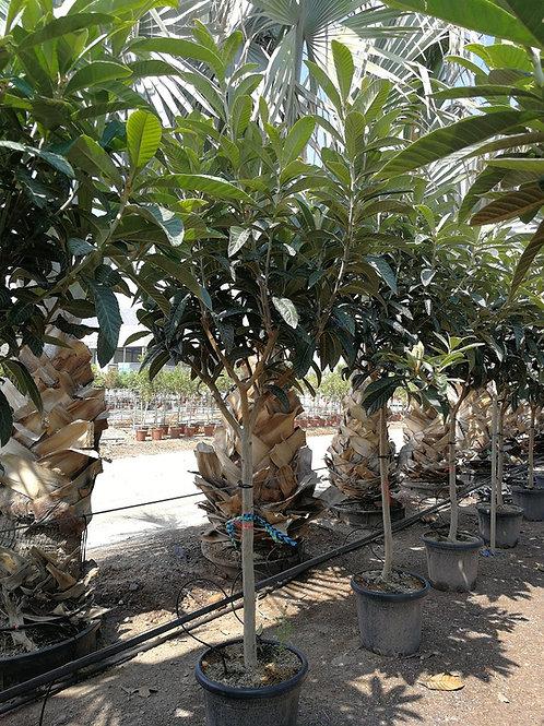ERIOBOTRYA JAPONICA. Loquat Tree