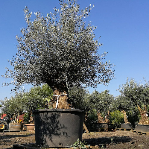 Quality Spanish Old Gnarled Olive Trees for sale