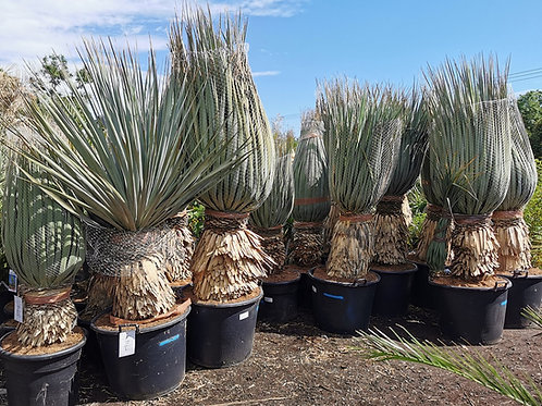 Large Nolina Nelsonii Plants for sale
